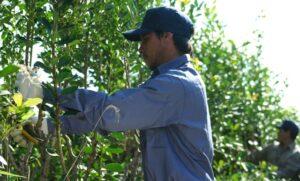El INYM limitó nuevas plantaciones de yerba mate