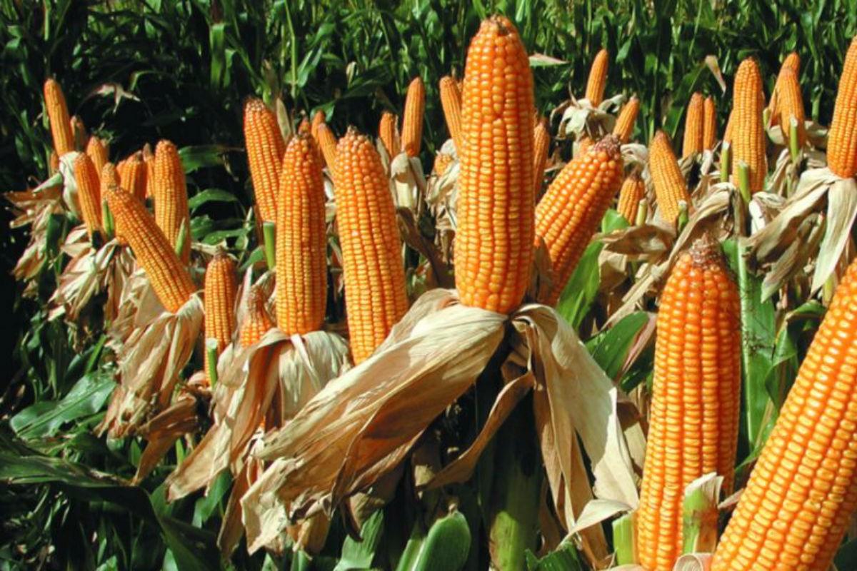 Científicos argentinos buscan un maíz que resista a múltiples enfermedades.    Mundo Agro Cba