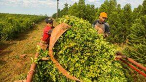 Limitación en las plantaciones de yerba mate