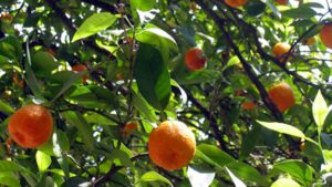 crisis en la produccion citrica