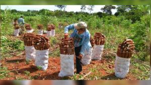 producción de mandioca